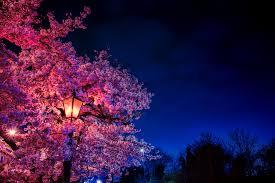 ورق الجدران ساكورا والزهور والفانوس تزهر مساء ربيع Hd