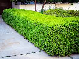 Winter Gem Boxwood Winter Gem Boxwood Boxwood Landscaping Front Yard Landscaping
