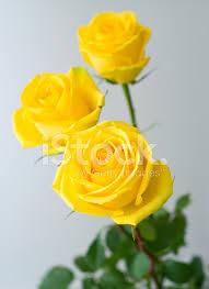 Beautiful Yellow Roses Hd Wallpapers   Roses Gallery