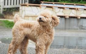 best puppy food for poodles depending