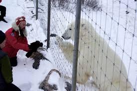 Polar Bear Tour On Foot Churchill Wild Review Up Close With Polar Bears