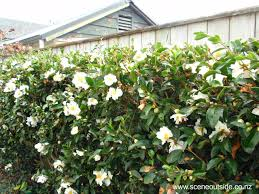 Camellias Prettily Disguise Not So Lovely Moments Such As Fences And Weird Spaces Where You Want Something But Camellia Tree Garden Planning Planting Flowers