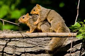 eastern fox squirrel pictures and