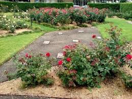how to choose a spot to grow roses