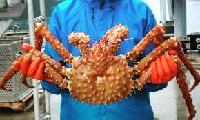 Golden King crab dockside sampling 2016b-Hilary Wood - KFSK