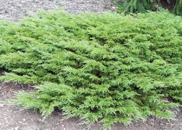 juniper sierra calgary carpet earl
