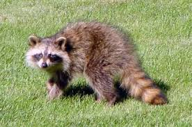 A Nuisance Of A Critter Raccoons Outdoors Messagemedia Co
