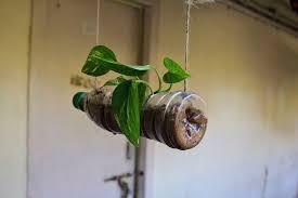 grow money plant in plastic bottle