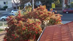 Bottle Brush Tree How To Grow And Care For Callistemons Melaleucas Epic Gardening