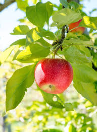 Let's go out on a limb and prove we can grow our own apples