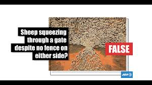 There Was A Fence Which Forced These Sheep To Go Through This Gate In Australia Fact Check