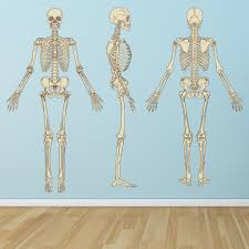 Human Skeleton Science Biology Wall Decal Sticker Ws 45656 Ebay
