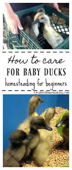 how to care for baby ducks creative