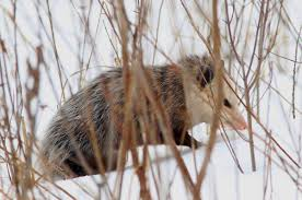 Opossum Caught On Top Of Fence Spent Hours In Anatomical Agony Madison Police Say Local News Madison Com