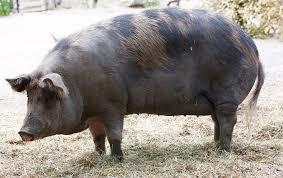 Pork Pig Sow - Free photo on Pixabay