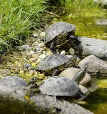 Turtle Ponds What Do They Need Totalpond