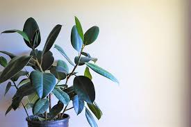 rubber plant tips to care for ficus