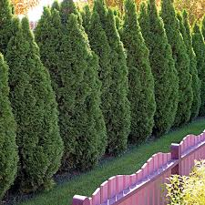 10 Outstanding Evergreen Trees For Privacy Better Homes Gardens