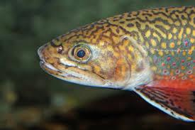 wallpaper cute face brook trout