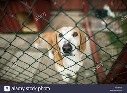 Dog Looking Through Fence High Resolution Stock Photography And Images Alamy