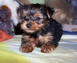 magnificent teacup yorkie puppies