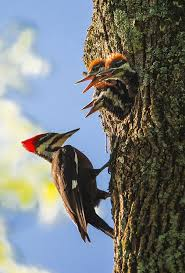 Pileated Woodpeckers Nest Photograph by Priscilla Morris