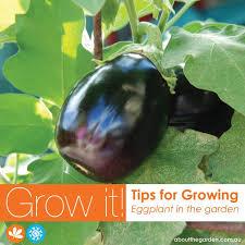 growing eggplant aubergine egg