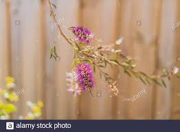 Native Australian Bottle Brush Callistemon Tree In Bloom With Pink Flowers Detail Shot With Wooden Fence Bokeh Stock Photo Alamy