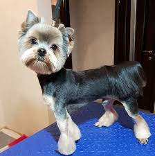yorkie haircuts for males and females