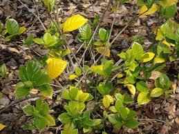 gardenia leaves turning yellow