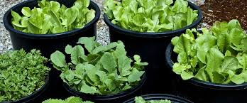 vegetables that grow well in the shade