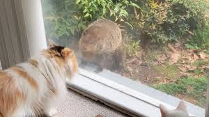 Rare Moment When A Groundhog Greets A Pair Of House Cats In ...