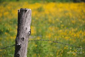 Barbed Wire Fence Post With Yellow Flowers Photograph By Colleen Snow