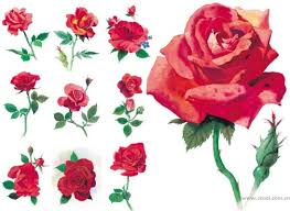 love red rose flower pictures free