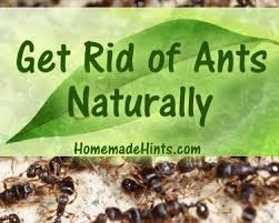 diy homemade ant and natural ant