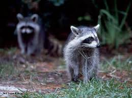 Electric Fence Best Electric Fence Raccoons