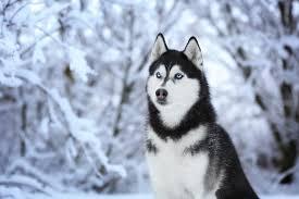 my husky dog hd wallpapers new tab