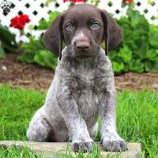 german shorthaired pointer puppies pa