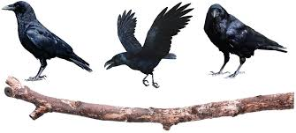Crow On A Branch Wall Decals Crow Wall Adhesive Murals Removable Bird Wall Murals Crow Wall Designs Primedecals