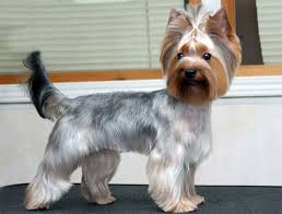 explore yorkie haircuts pictures and