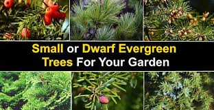 15 small or dwarf evergreen trees for