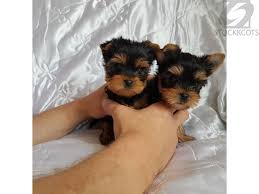 teacup yorkshire terrier available