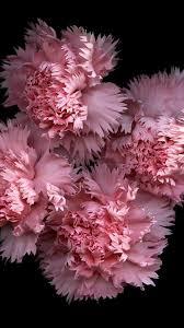 flowers black background pink