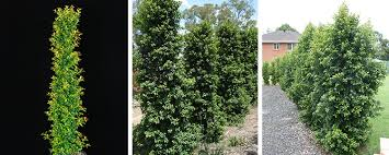 hedges for small or narrow spaces
