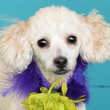 glastonbury ct poodle toy or tea