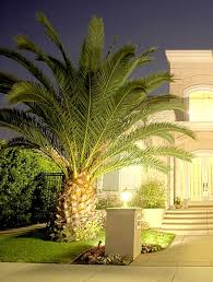 pindo palm palm trees landscaping