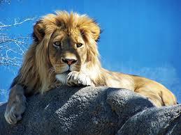 صور وخلفيات أسد جميلة 2020 Beautiful Lion Pictures Hd