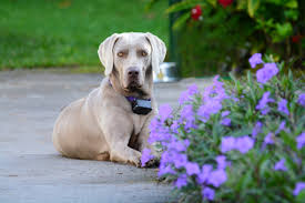 A Guide to the Weimaraner ...