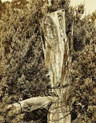 Old Cedar Fence Post Photograph By Jim Smith