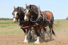 clydesdale horse breed information and